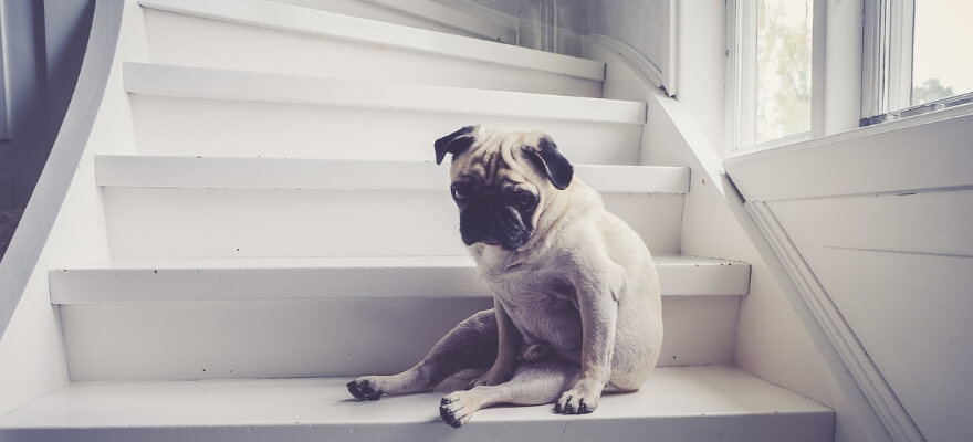 Pug on stairs